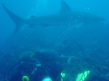 Getting friendly with a Galapagos Shark