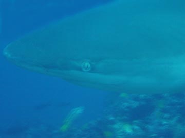 Galapagos Shark sees all tells all