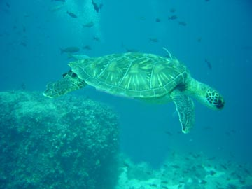 Sea Turtle seeking shelter from divers
