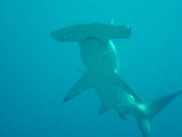 Hammerhead shark over head