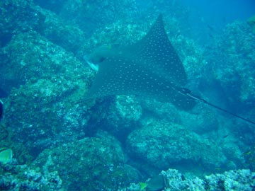 glading slotted eagle ray